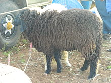A close-up of Sheep.JPG