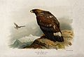 A golden eagle (Aquila chrysaetos). Chromolithograph by W. G Wellcome V0022221.jpg