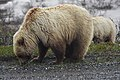 A grizzly and her large cub alongside the Denali Park Road (3fbb5ff2-2b55-444b-9427-f81588a915ff).jpg