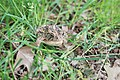 A little toad Hershey couldn't sniff out - panoramio.jpg