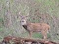 A magnificent chital stag AJT Johnsingh DSCN1137.jpg