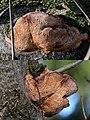 A very clearly visible labyrint mushroom Daedalea quercina (Oak Mazegill or Mazegill Fungus, D= Eichenwirrling, F= Dédalée du chêne, NL= Doolhofzwam)(Querus=Oak=Eiche=Chêne=Eik) white spores, causes brownrot, at Sch - panoramio.jpg