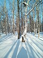 A winter forest in the North-West of Sakhalin. 10.jpg