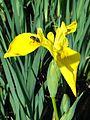 Abeille sur Iris jaune des marais. Iris pseudacorus. Mahieddine Boumendjel.jpg