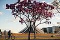 Aberta a temporada de ipês roxos em Brasília (28967972568).jpg