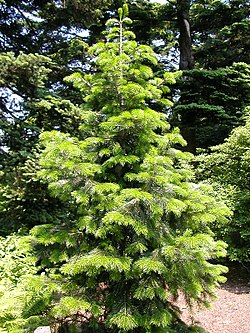 Abies pindrow.jpg