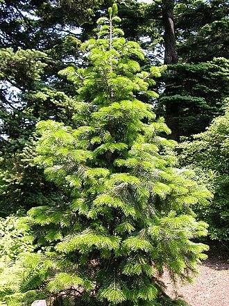 Abies pindrow - Pindrow Fir at New York Botanical Garden