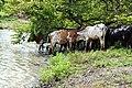 Abreuvage de troupeau de boeuf dans le pâturage naturel de Samiondji (Covè).jpg