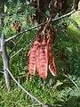 Acacia Seed Pods opening - Bellarine Peninsula - Victoria, Australia.jpg