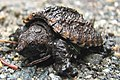 Acadia National Park, common snapping turtle hatchling.jpg