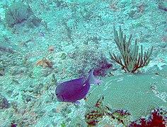 Acanthurus coeruleus - blue tang - Bay of Pigs - Cuba.jpg