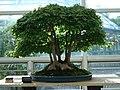 Acer Buergerianum bonsai 2a.JPG