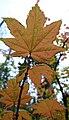 Acer circinatum 2.jpg