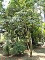 Acer oliverianum - Kunming Botanical Garden - DSC02984.JPG