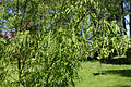 Acer platanoides paldiski.jpg
