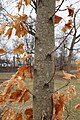 Acer saccharum (Sugar Maple) (32812316330).jpg