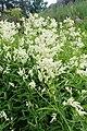 Aconogonon alpinum kz02.jpg