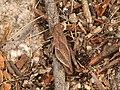 Acrididae sp. (37088982744).jpg