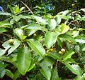 Acronychia pedunculata Fruits 2.jpg