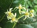 Acronychia pedunculata flowers 01.JPG