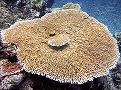 Acropora hyacinthus, Kelso Reef.jpg