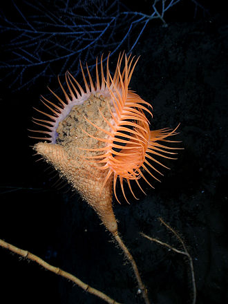 Sea anemone - Venus flytrap sea anemone is a suspension feeder and orients itself to face the current