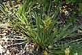 Acyphylla traversi 01.jpg