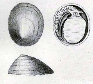 Lepetelloidea Superfamily of gastropods