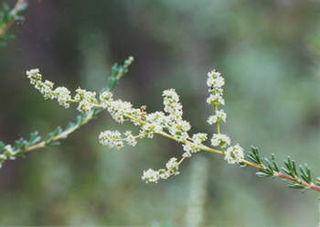 <i>Adenostoma fasciculatum</i> species of plant