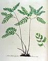 Adianthum capillus-veneris — Flora Batava — Volume v12.jpg