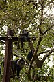 Adult lion-tailed macaque looking at the electrocuted infant in Valparai DSC 2536.jpg