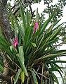Aechmea mariae-reginae, a Queen Mary Bromeliad (9274533117).jpg