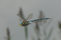 Aeshna juncea hovering 2.png