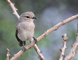 African Grey Flycatcher 2.jpg