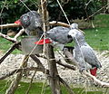 African Grey Parrots Sylvan Heights Waterfowl Park.jpg