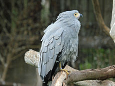 African Harrier Hawk RWD.jpg