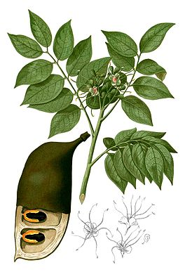 Afzelia rhomboidea