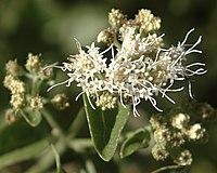 Ageratina herbacea flora