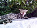 Aggressive Mother Cat.jpg