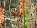 Aglaeactis cupripennis (Colibrí paramuno) (14144412717).jpg
