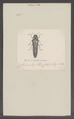 Agrilus - Print - Iconographia Zoologica - Special Collections University of Amsterdam - UBAINV0274 023 10 0013.tif