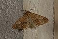 Agriopis marginaria (33164712545).jpg