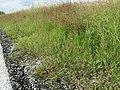 Agrostis stolonifera sl4.jpg