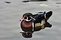 Aix sponsa (Wood Duck - Brautente) - Weltvogelpark Walsrode 2012-05.jpg