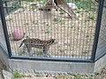 Alameda Park Zoo ocelot.jpg
