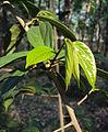 Alangium Salvifolium 15.JPG