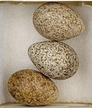Eurasian skylark -  Alauda arvensis  - MHNT