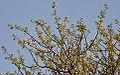 Albizia amara (Krishna Siris) in Hyderabad W IMG 7400.jpg