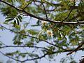 Albizia amara subsp. amara (5656878638).jpg