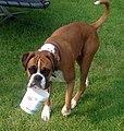 Alfie the Boxer (31634542587).jpg